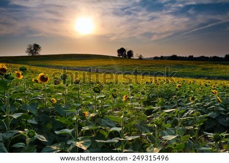 Sunflower field at sunset in Kansas - stock photo