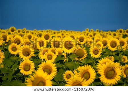 Sunflower field bathing in sunlight with copy space - stock photo