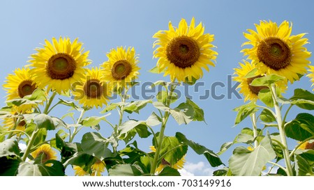 Sunflower field flowers bloom beautiful sun light behind the blue color