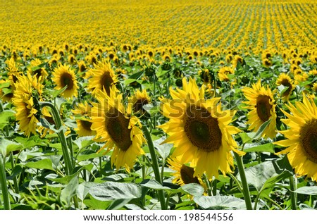 Sunflower Field in Europe - stock photo