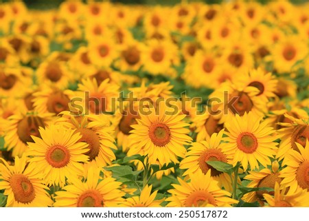Sunflower field in Ontario, Canada - stock photo