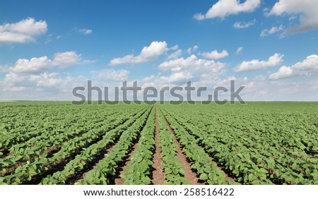 Sunflower field in spring with beautiful sky and clouds