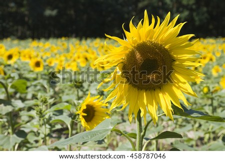 Sunflower field in the Spree forest - stock photo