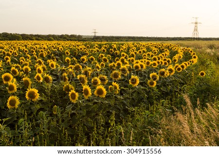 Sunflower field is blooming at sunset, wide angle - stock photo
