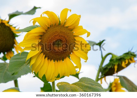 Sunflower field over cloudy blue sky and bright sun lights - stock photo