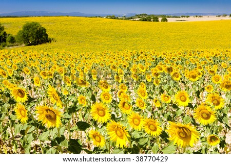 sunflower field, Provence, France - stock photo