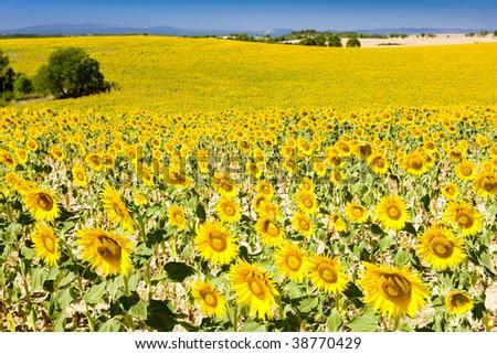 sunflower field, Provence, France - stock photo