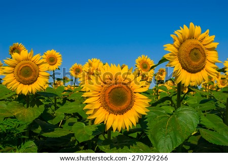 sunflower field scene - stock photo