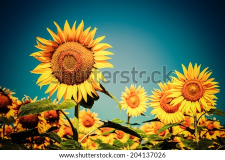 Sunflower field under blue sky. Floral background in vintage style  - stock photo