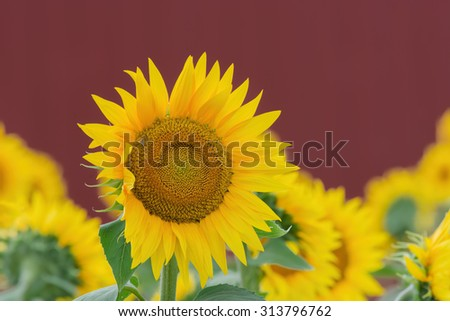 Sunflower field with a red farm barn in the background. - stock photo
