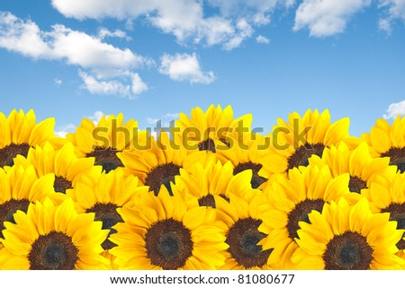 sunflower field with cloudy blue sky and hot air balloon - stock photo