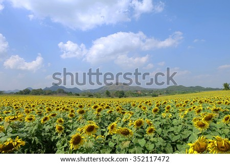 Sunflower field with mountain view - stock photo