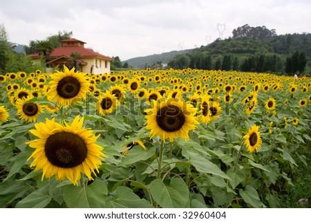 Sunflower field,yunnan - stock photo