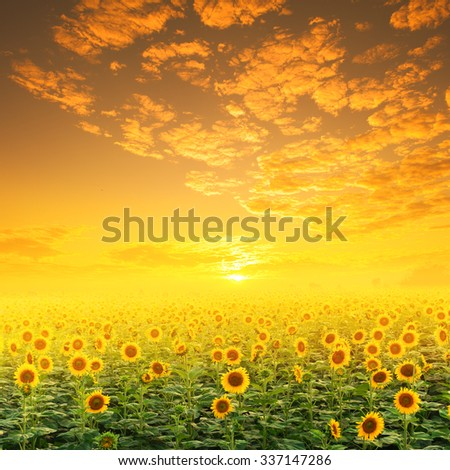 Sunflower fields and Sunset for background - stock photo