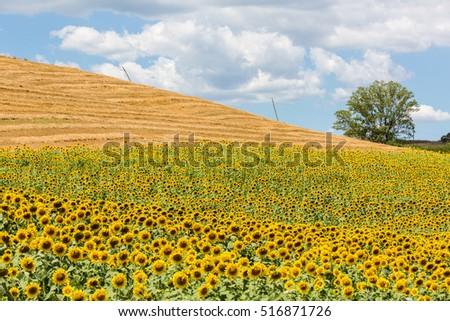 Sunflower fields in the tuscan region in Italy