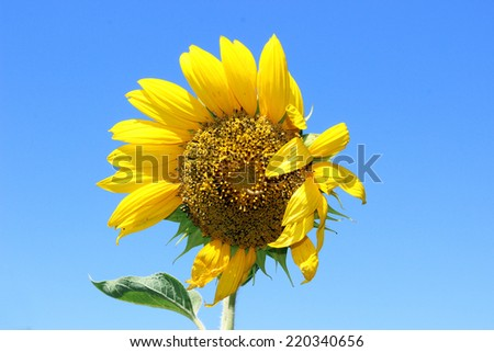 Sunflower flower with a caterpillar on a background of blue sky - stock photo