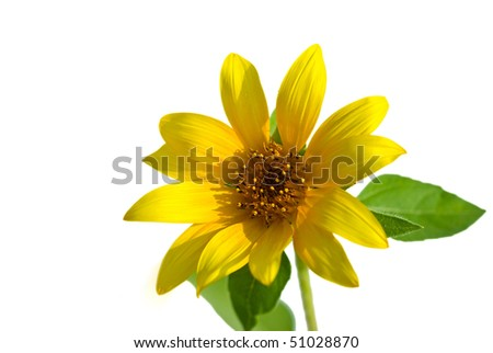 Sunflower head closeup isolated on white background