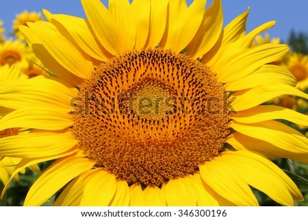 Sunflower head inside