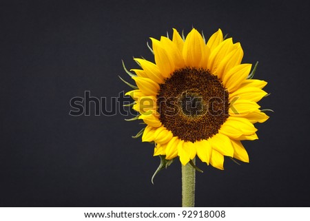 Sunflower Head Isolated on Black Background - stock photo