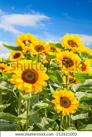 Sunflower heads with bees collecting honey - stock photo