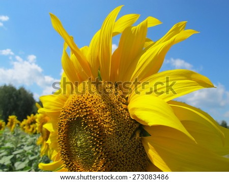 Sunflower (Helianthus annuus) flower against a blue sky - stock photo
