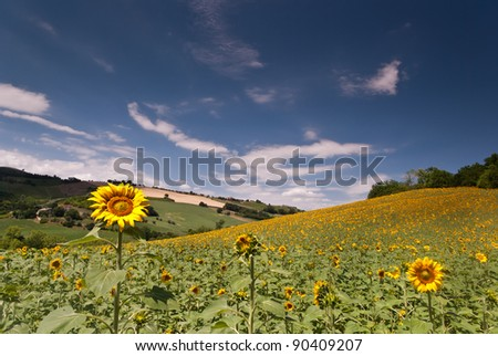 Sunflower in a field with a blue sky
