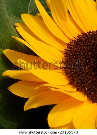 Sunflower in Amsterdam, the Netherlands - stock photo