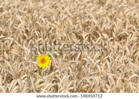 Sunflower in cornfield - stock photo