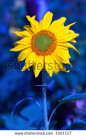 Sunflower in deep blue - stock photo