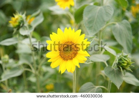 Sunflower in full bloom in field of sunflowers on a sunny day. - stock photo