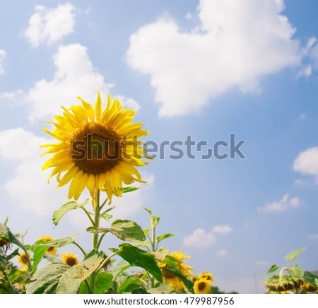 Sunflower in full bloom in field of sunflowers on a sunny day