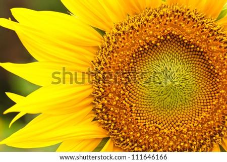 Sunflower in full bloom in summer - stock photo