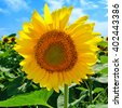 Sunflower in the field against the blue sky in sunny day - stock photo