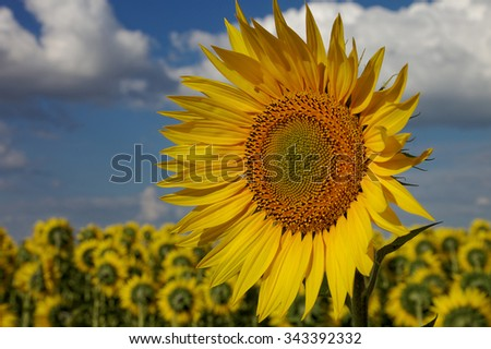 Sunflower in the field against the blue sky with white clouds. - stock photo