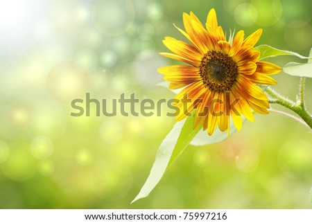 Sunflower in the sunshine, dreamy image with bokeh. - stock photo