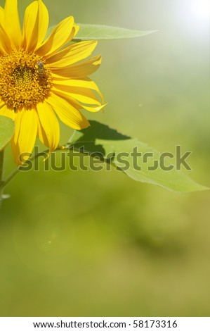 Sunflower in the sunshine with copy space. - stock photo