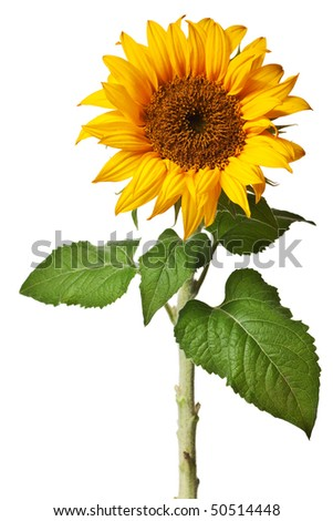 sunflower isolated on a pure white background - stock photo