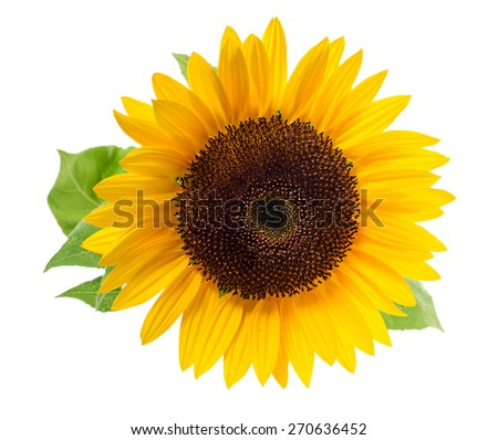 Sunflower, isolated on a white background. - stock photo