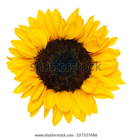 sunflower isolated on white background, clipping path - stock photo