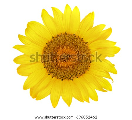 sunflower isolated on white background close-up. Top view