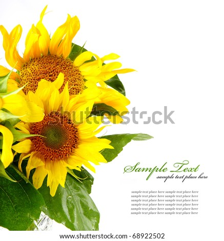 sunflower isolated over white background - stock photo