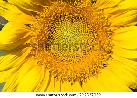 sunflower macro shot , the blossom close-up  - stock photo