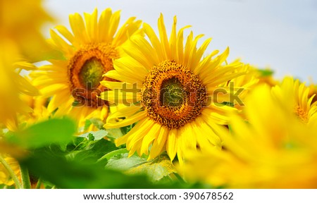 Sunflower nature summer agriculture - stock photo