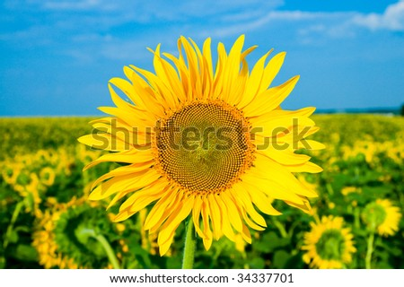 sunflower on a background the field