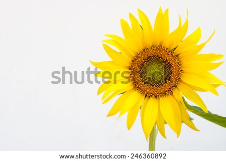 Sunflower on a white wall background. - stock photo