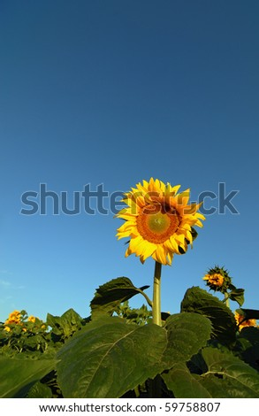 Sunflower on sky