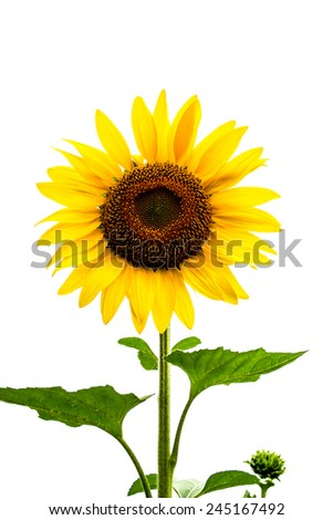 sunflower on white background - stock photo