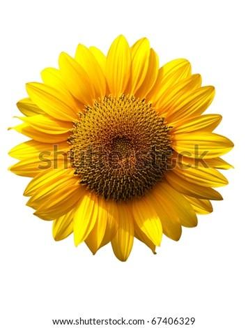 Sunflower on white background - stock photo