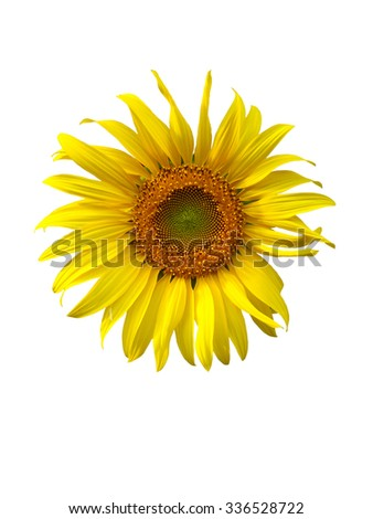 sunflower on white background,flower, yellow,sunflower texture, sunflower close up - stock photo