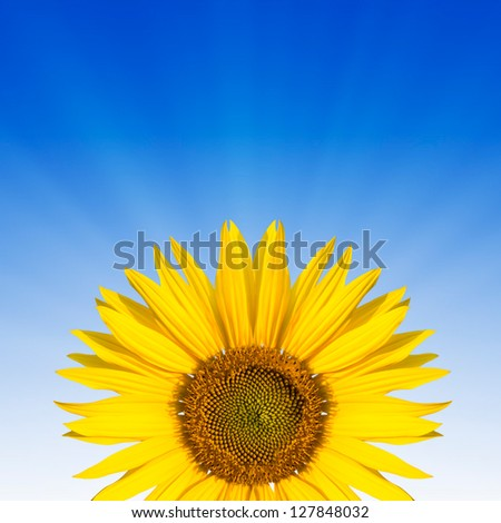 sunflower ona blue background - stock photo